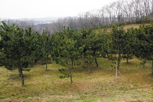 図 10 東北で実質的に唯一の抵抗性クロマツ採種園
