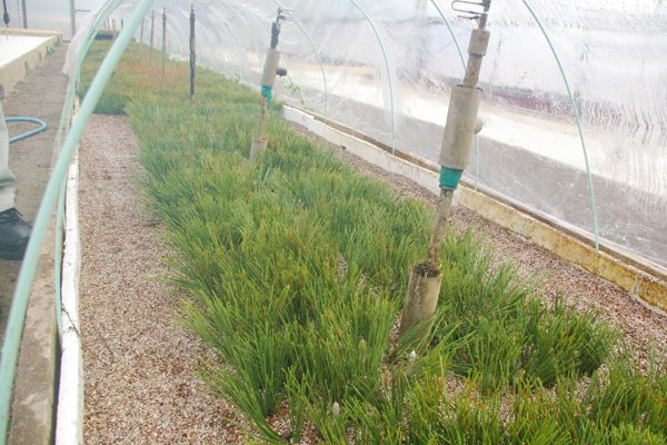 図 11 抵抗性クロマツのさし木による増殖