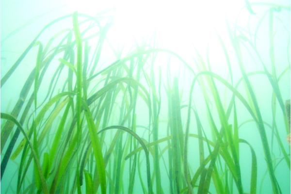 図 8 環境省絶滅危惧Ⅱ類「タチアマモ」。最大で長さ7mに達する世界最大の海藻。